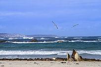 大海上飞翔的海鸥和海滩边上的海狮