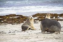 海滩上两只可爱的澳洲海狮