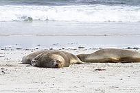 海滩上休息中的海狮