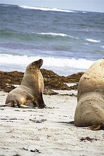 海滩与海狮