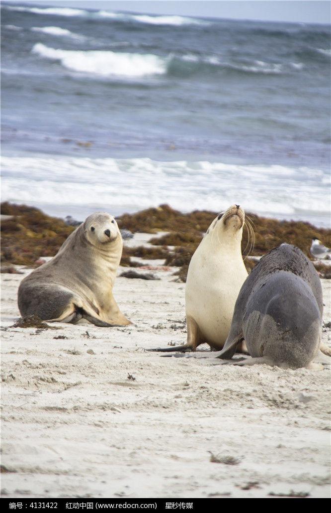 三只澳洲海狮图片