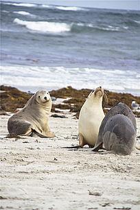 三只澳洲海狮