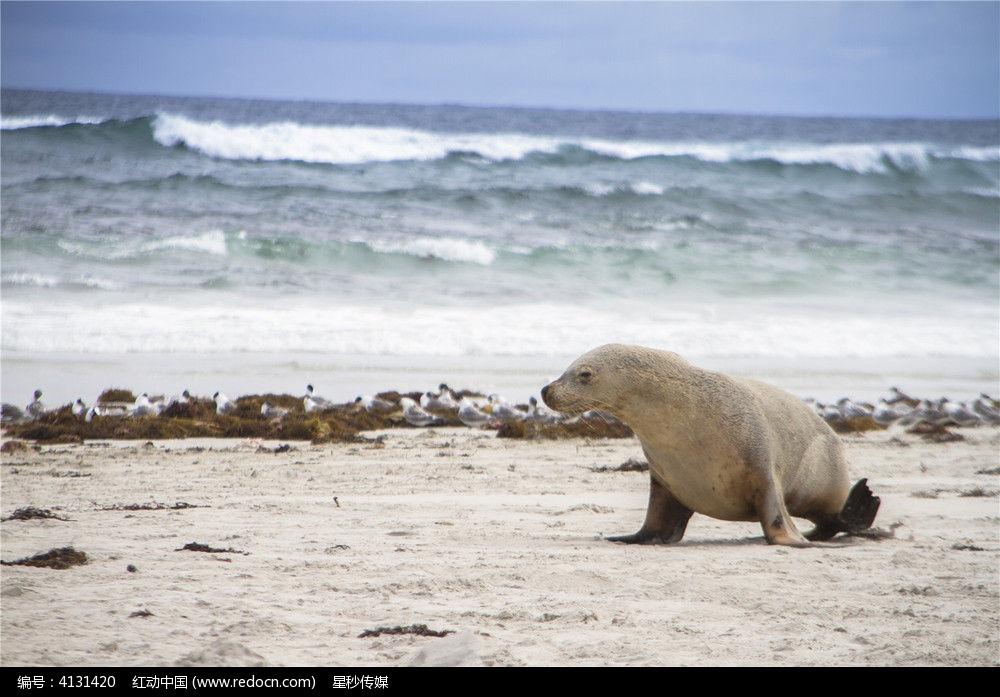 一只澳洲海狮图片