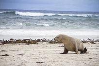 一只澳洲海狮