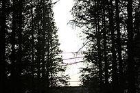 笔直的松树坚剪影
