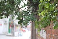长到墙外的植物