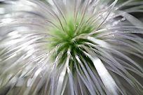 野生植物白头翁