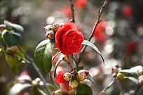 一朵红色茶花