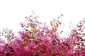 红花继木花朵