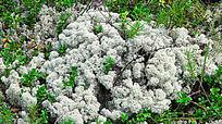 野生植物驯鹿苔藓