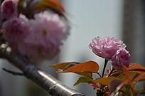 烈日下的樱花