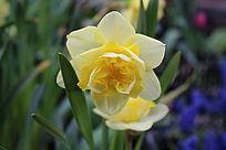 黄玫瑰含羞绽放
