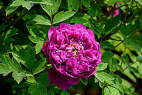 皇冠紫牡丹