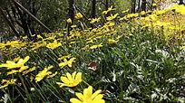 春天的野菊