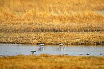 沼泽里的水鸟