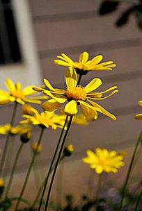 侧面的雏菊2