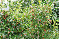 大青沟原始森林中的野果