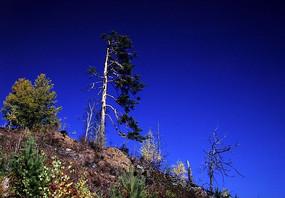 山坡上的一棵松树