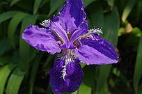 植物  花卉  扁竹花  紫色花卉   园林植物