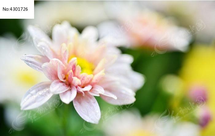粉色的菊花图片