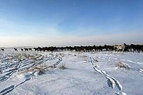 呼伦贝尔雪原奔跑的马群