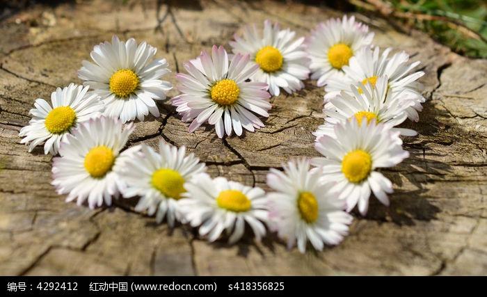 心型鲜花菊花高清高分辨率摄影图图片