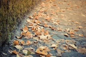 秋天銀杏葉飄落