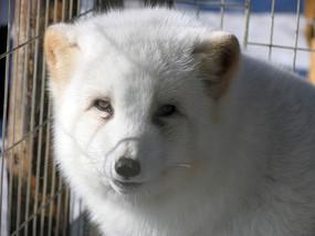大兴安岭繁育芬兰北极狐