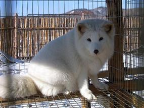芬兰北极狐