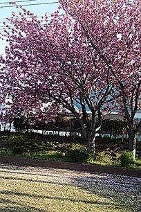 落地的樱花花瓣