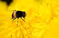 蜜蜂菊花上采蜜