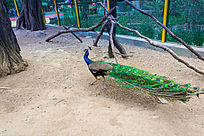 散步的孔雀