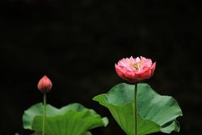 莲花与花苞
