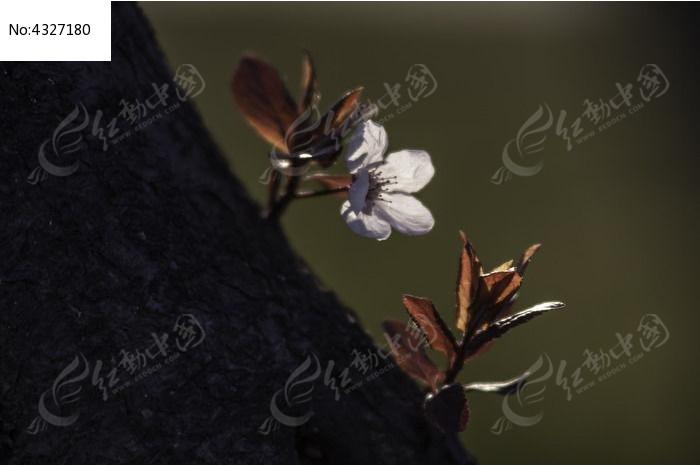 逆光紫叶李图片