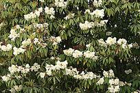白色的野生杜鹃花