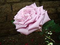 侧面雪青色开开的玫瑰
