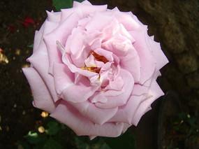 超大正面特写雪青色玫瑰花