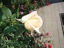 超近距离单支乳白色的月季花