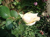 单支乳白色的月季花