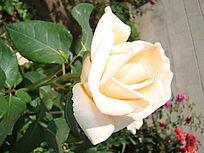 大特写单支乳白色的月季花