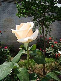 独立挺立单支乳白色的月季花