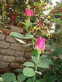 二朵鲜红色的月季花