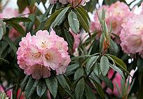 粉色的野生杜鹃花