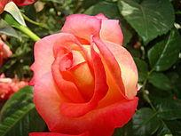 红色单朵月季花