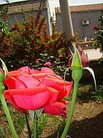 花朵和花骨朵