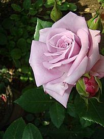 近距离侧面雪青色玫瑰
