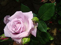 近距离侧面雪青色玫瑰花