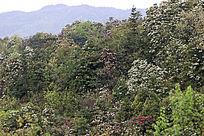 漫山遍野的原生杜鹃