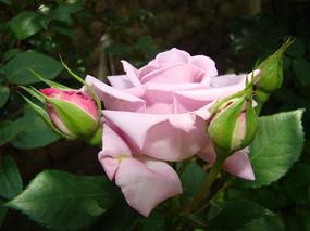 竖面紫色玫瑰花
