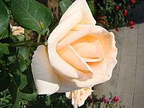 特写单支乳白色的月季花